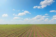 Giacimento della soia verde, file di giovane soia verde agricolo Fotografia Stock