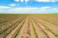 Giacimento della soia verde nella fase iniziale Immagini Stock