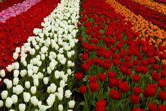 Giacimento della sorgente con i tulipani fotografia stock libera da diritti