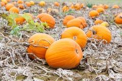 Giacimento della zucca con differenti tipi di zucche il giorno di autunno Fotografia Stock Libera da Diritti