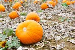 Giacimento della zucca con differenti tipi di zucche il giorno di autunno Fotografia Stock