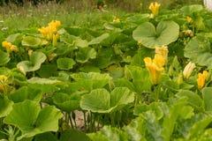Giacimento della zucca con i fiori gialli Immagini Stock