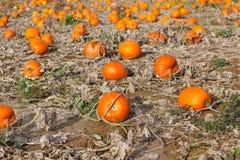 Giacimento della zucca con tipo differente di zucca il giorno di autunno Immagine Stock
