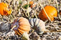 Giacimento della zucca con tipo differente di zucca il giorno di autunno Fotografia Stock