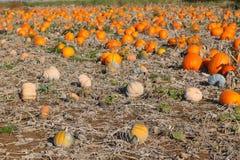 Giacimento della zucca con tipo differente di zucca il giorno di autunno Fotografie Stock