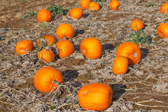 Giacimento della zucca con tipo differente di zucca il giorno di autunno Fotografia Stock Libera da Diritti