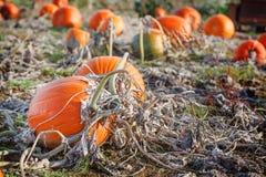 Giacimento della zucca con tipo differente di zucca il giorno di autunno Fotografie Stock Libere da Diritti