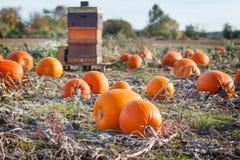 Giacimento della zucca con tipo differente di zucca il giorno di autunno Immagini Stock Libere da Diritti
