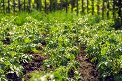 Giacimento delle piante di patate Fotografie Stock