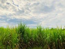 Giacimento dello zucchero di canna con il fondo del cielo nuvoloso Fotografie Stock