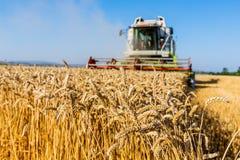 Giacimento di cereale di grano al raccolto fotografia stock