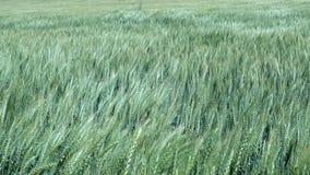Giacimento di cereale nel giorno ventoso archivi video