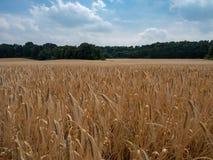 Giacimento di cereale prima di una foresta Fotografia Stock Libera da Diritti