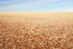Giacimento di cereale sopra cielo blu Fotografia Stock