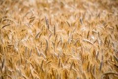 Giacimento di cereali di estate Fotografie Stock Libere da Diritti