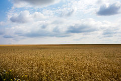Giacimento di cereali di estate fotografia stock libera da diritti
