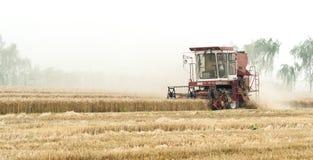 Giacimento di cereali di mietitrebbiatura, Cina Immagini Stock