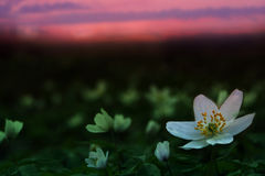 Giacimento di fiore Immagini Stock