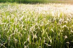 Giacimento di fiore bianco dell'erba Fotografia Stock