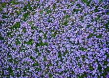 Giacimento di fiore blu Fotografie Stock