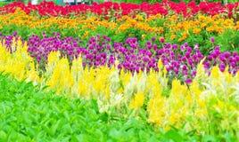 Giacimento di fiore Colourful Immagine Stock