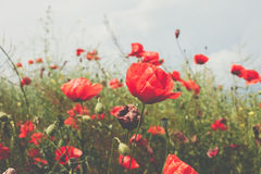 Giacimento di fiore dei papaveri Fotografie Stock