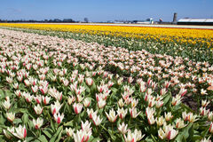 Giacimento di fiore dei tulipani Fotografia Stock Libera da Diritti