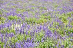 Giacimento di fiore del Lavandula Fotografia Stock Libera da Diritti