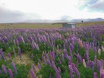 Giacimento di fiore del lupino sopra l'alta collina Nuova Zelanda Immagine Stock