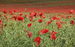 Giacimento di fiore del papavero che tring Hertfordshire Fotografie Stock
