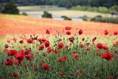 Giacimento di fiore del papavero che tring Hertfordshire Immagini Stock