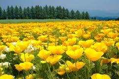 Giacimento di fiore del papavero di California Fotografie Stock Libere da Diritti
