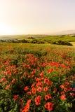Giacimento di fiore del papavero nel bello paesaggio del paesaggio della Toscana in Italia, belvedere nella regione di Val d Orci fotografie stock