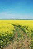 Giacimento di fiore del seme di ravizzone Fotografia Stock