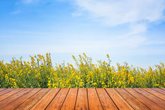 Giacimento di fiore del seme di ravizzone con il pavimento di legno e del cielo Fotografia Stock