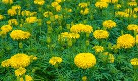 Giacimento di fiore del tagete Immagini Stock Libere da Diritti