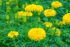 Giacimento di fiore del tagete Fotografie Stock Libere da Diritti