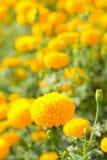 Giacimento di fiore del tagete Fotografie Stock
