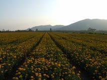 Giacimento di fiore del tagete Fotografia Stock