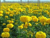 Giacimento di fiore del tagete Fotografia Stock Libera da Diritti