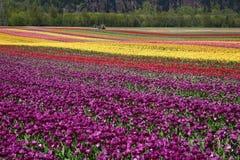 Giacimento di fiore del tulipano Fotografia Stock Libera da Diritti