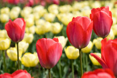Giacimento di fiore del tulipano Fotografia Stock