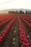 Giacimento di fiore del tulipano Immagine Stock Libera da Diritti