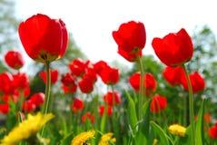 Giacimento di fiore del tulipano Immagini Stock Libere da Diritti