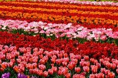 Giacimento di fiore del tulipano Fotografie Stock Libere da Diritti