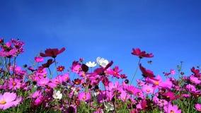 giacimento di fiore dell'universo stock footage