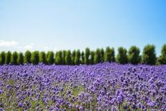 Giacimento di fiore della lavanda con cielo blu Fotografia Stock Libera da Diritti