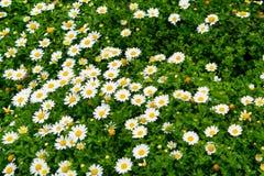 Giacimento di fiore della margherita nella vista superiore del prato Fotografie Stock Libere da Diritti