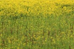 Giacimento di fiore della pianta della violenza Immagini Stock Libere da Diritti