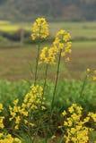 Giacimento di fiore della pianta della violenza Fotografie Stock